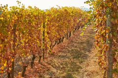 Vineyard path in autumn with yellow and brown leaves, sunlight Royalty Free Stock Images