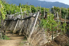 Vineyard path Stock Image