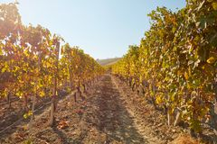 Vineyard, path between two vine rows in autumn, yellow leaves Royalty Free Stock Photography