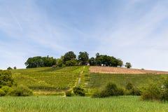 Vineyard on the peninsula Au Stock Photo