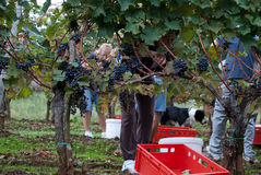 Vineyard with people. Picking up grape fruits in one vineyard on Kras region in Slovenian Country Stock Photo