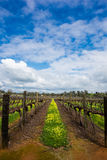 Vineyard. In Perth,Australia. blue sky royalty free stock photos