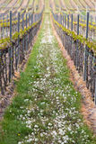 Vineyard in Pfalz, Germany Royalty Free Stock Photography