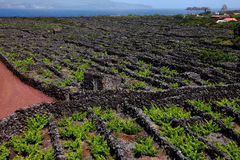 Vineyard in Pico, Azores. Large vineyard on the island of Pico royalty free stock image