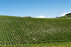 Vineyard in Piedmont Royalty Free Stock Photography