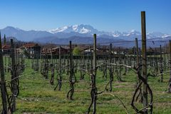 Italian vineyard with alps in the background stock photo
