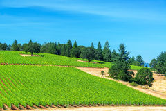 Vineyard and Pine Trees Royalty Free Stock Photography