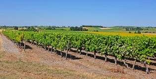 Vineyard with pineau grapes in France stock images