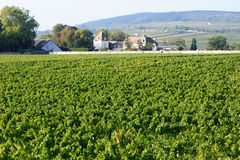 Vineyard pinot noir near Meursault in the Cote-d'Or Stock Photos