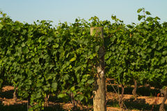 Vineyard. Or a plantation of grape-bearing-vines Royalty Free Stock Images