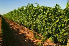 Vineyard. Or a plantation of grape-bearing-vines Royalty Free Stock Photo