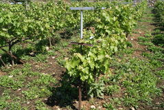 Vineyard. A vineyard is a plantation of grape bearing vines, growing mainly for winemaking, raisins, table grapes and non-alcoholic grape juice stock image