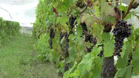 Vineyard plantation of red grapes stock video footage