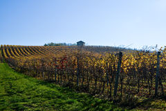 Vineyard planted with Barbera in the Italian Oltrep� Pavese Stock Images