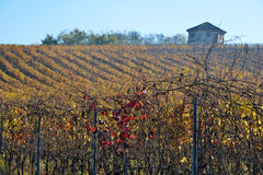 Vineyard planted with Barbera in the Italian Oltrep� Pavese Royalty Free Stock Photo