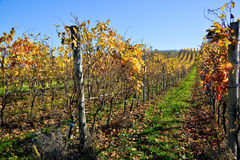 Vineyard Planted With Barbera In The Italian Oltrep� Pavese Stock Photos