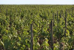 Vineyard in Pomerol Stock Photography