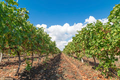 Vineyard in Pomorie, Bulgaria Royalty Free Stock Photography