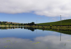 A Vineyard With A Pond. A vineyard at harvest time in a gentle rolling landscape with a pond in the hills of the California wine growing region in Sonoma Royalty Free Stock Photo