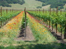 Vineyard with poppies Royalty Free Stock Photos
