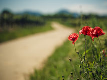 Vineyard and Poppy Flowers. Bright Red Poppy Flowers at a Vineyard in Palatinate Germany in Summer stock photo