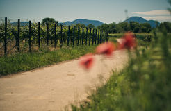 Vineyard and Poppy Flowers Stock Photography