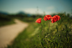 Vineyard and Poppy Flowers Royalty Free Stock Image