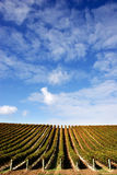 Vineyard - portrait Stock Images
