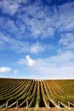 Vineyard - portrait