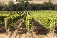 Vineyard in Portugal Royalty Free Stock Photo