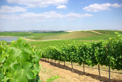 Vineyard at Portugal, Stock Image