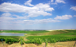 Vineyard at Portugal, Royalty Free Stock Photo