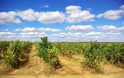 Vineyard at Portugal. Royalty Free Stock Photography