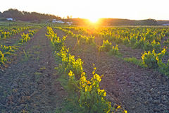Vineyard in Portugalat sunset. Vineyard in Portugal, Alentejo region at sunset Royalty Free Stock Photo