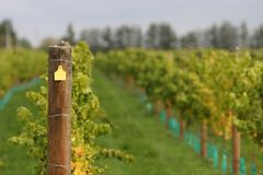 Vineyard post. Trellis post in a modern wine vineyard, yellow number tag blanked out royalty free stock image