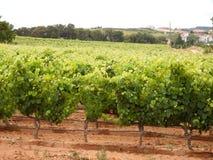 Vineyard. Private portuguese grape vineyard landscape Stock Image