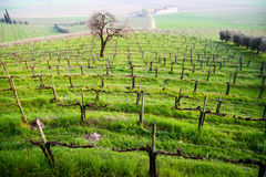 A vineyard of prosecco in susegana Stock Images