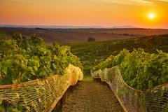 Vineyard with protective nets Royalty Free Stock Photo
