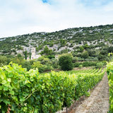 Vineyard in provence Royalty Free Stock Images
