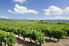 Vineyard. Provence. France. Stock Image