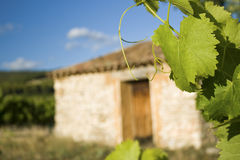 Vineyard in Provence. France Stock Photo