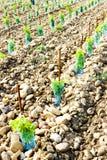 Vineyard, Provence, France Stock Image