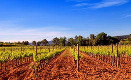 Vineyard in Provence, France. Stock Image