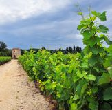 Vineyard in Provence, France Royalty Free Stock Image