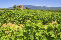 Vineyard, in Provence. Stock Photo