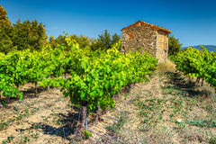 Vineyard in Provence near Gordes village, France, Europe. Agricultural landscape with vineyard and stone farmhouse in Provence region, near Gordes touristic royalty free stock photo