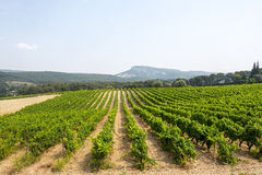 Vineyard in Provence Stock Images