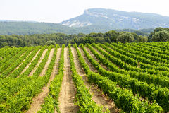 Vineyard in Provence. Near Marseille (Bouches-du-Rhone, Provence-Alpes-Cote d'Azur, France) at summer Royalty Free Stock Image
