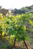 Vineyard in provence Royalty Free Stock Photos