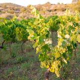 Vineyard in provence Stock Photography